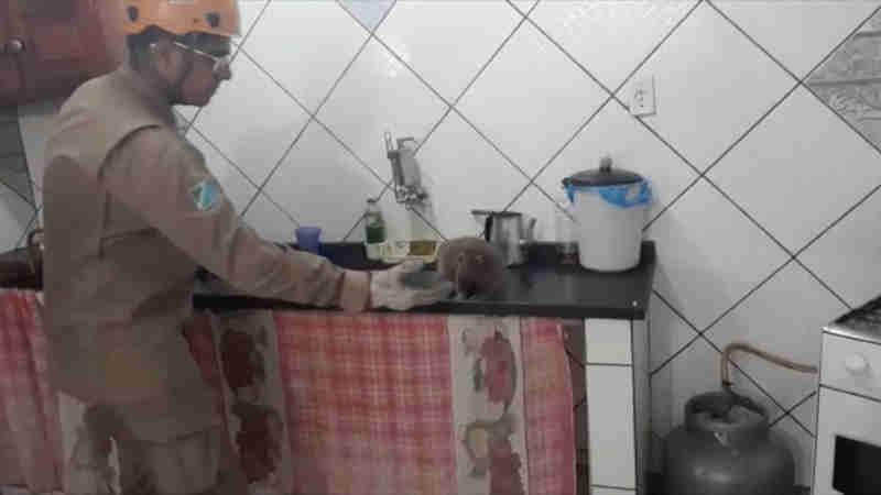 Macaco é capturado em cima da pia da cozinha de casa na área urbana do Pantanal de MS