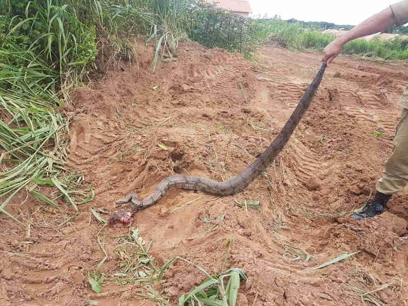Funcionários que limpavam terreno encontraram cobra de 3 metros em Rondonópolis (Foto: Corpo de Bombeiros de MT/Assessoria)