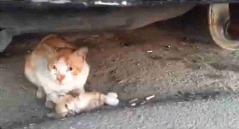 Mãe gata que se recusa a abandonar seu bebê morto no meio da estrada mostra a verdade dolorosa sobre animais de rua
