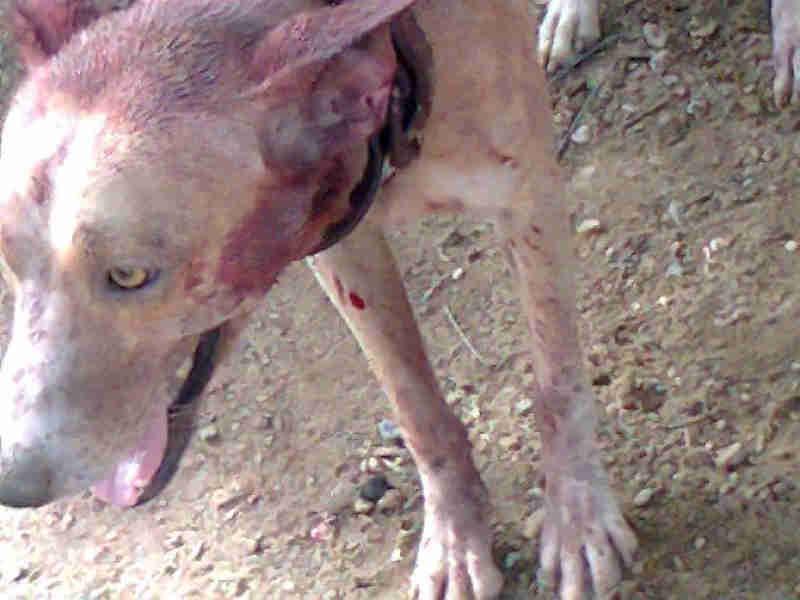 ONG resgata cão torturado por idoso em Sousa, na PB