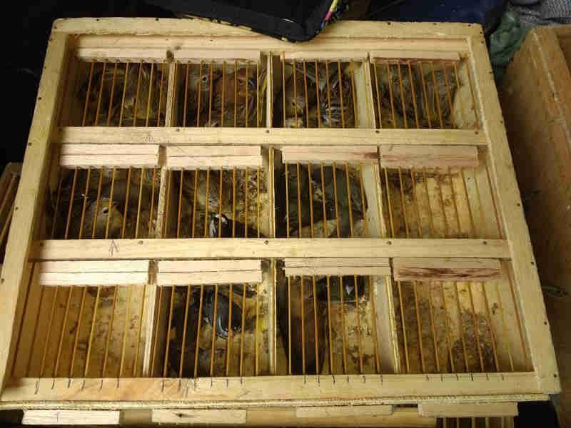 Mais de 70 pássaros silvestres são apreendidos em feira livre no Recife, PE