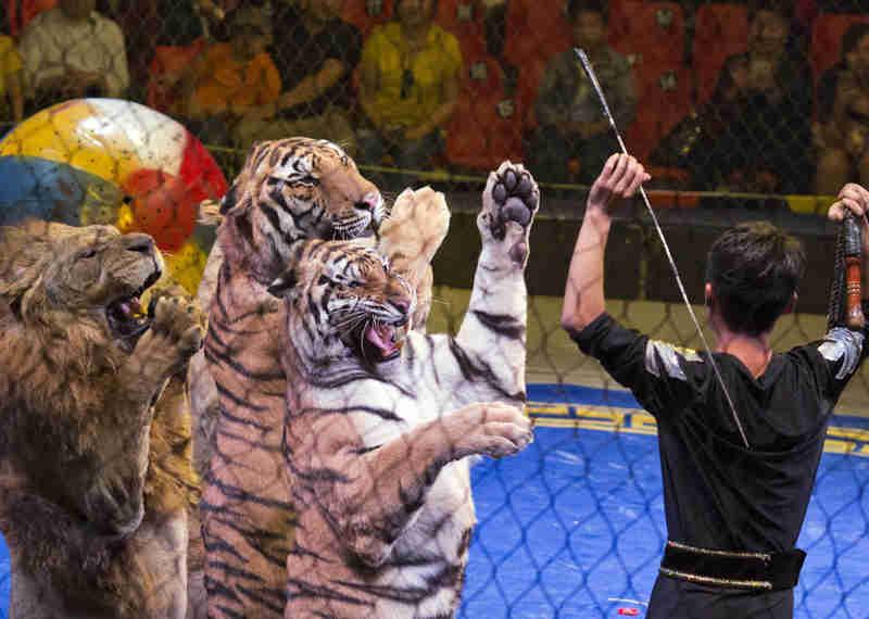 Petição contra animais nos circos recolhe mais de 20.000 assinaturas em Portugal