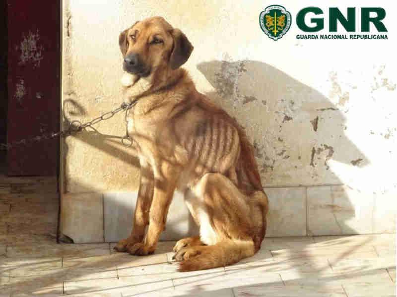 Portugal: GNR retira quatro cães a tutora suspeita de os maltratar