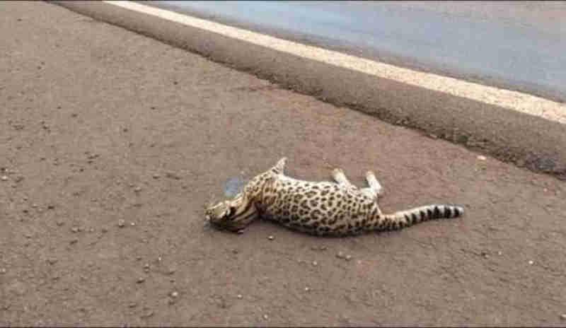 Jaguatirica é achada morta à margem da BR 163 em Quatro Pontes, PR