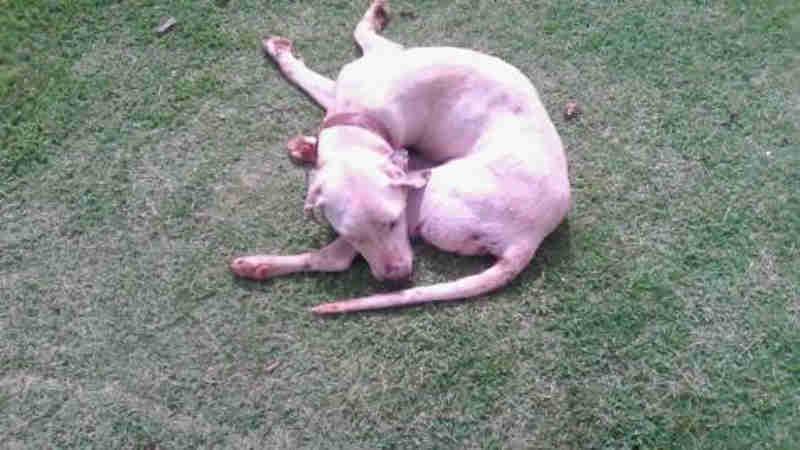Cachorro é atropelado no Jardim Veneza, em Cascavel, PR