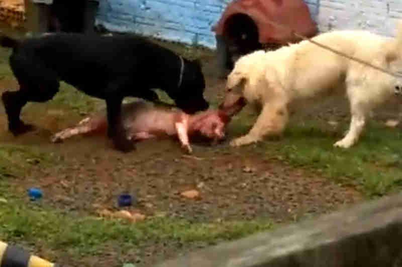 Cachorros são vítimas de maus-tratos em hotel para animais de estimação em São Mateus do Sul, PR