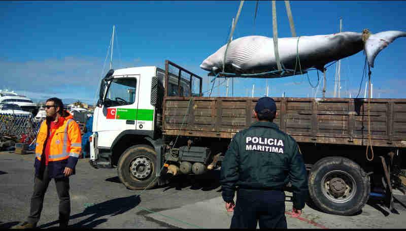 Polícia Marítima recolheu baleia de cinco metros em Cascais, Portugal