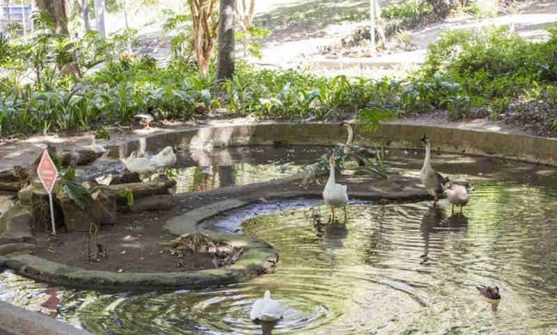 Sequestro de filhotes de ganso revolta frequentadores do Parque Guinle, em Laranjeiras, no Rio