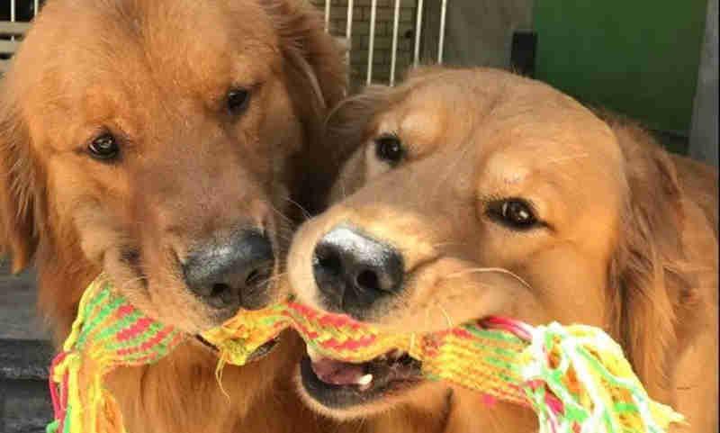 Justiça do Rio (RJ) concede guarda compartilhada de cachorros a casal separado