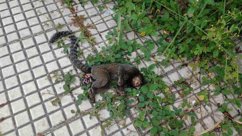Macaco é encontrado morto no bairro Voldac, em Volta Redonda, RJ