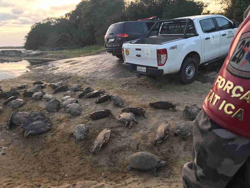 Tartarugas foram encontradas desidratadas em três locais do município. (Foto: Divulgação/ Força Tática/Caracaraí)