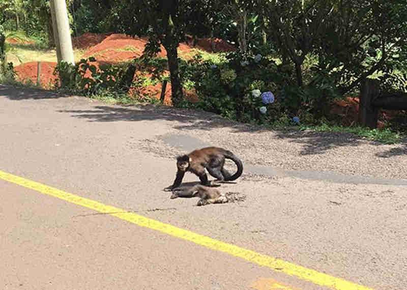 Mãe tenta resgatar filhote de macaco que morreu atropelado em Santa Cruz do Sul, RS