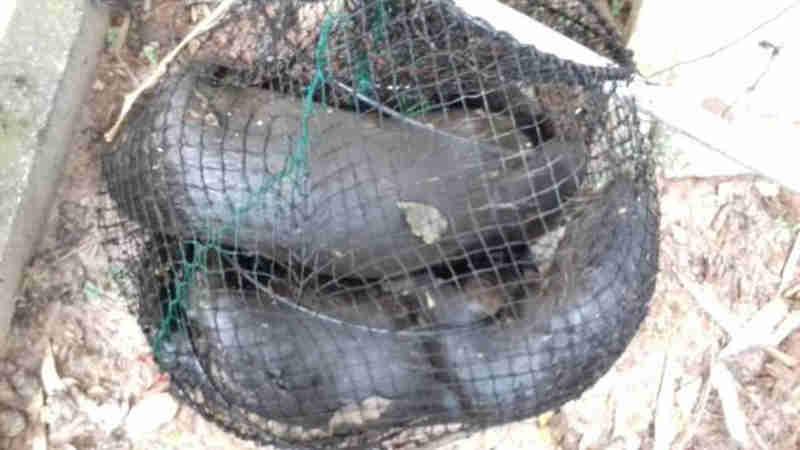 Morte de lontras no sul da Ilha preocupa pesquisadores em Florianópolis, SC