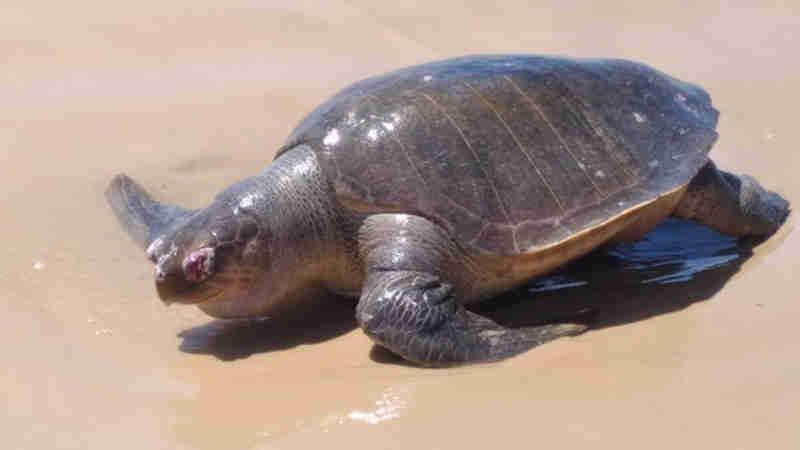 Tartaruga é encontrada morta na praia da Caueira, em Itaporanga D'Ajuda, SE