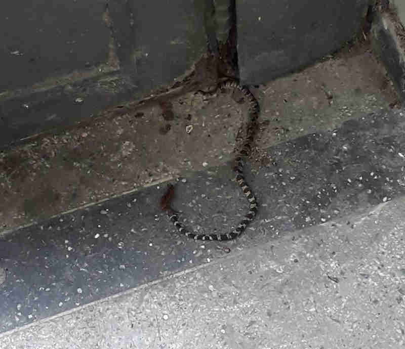 Cobra apareceu na Biblioteca Municipal de Cubatão. (Foto: Lia Franca/Arquivo Pessoal)