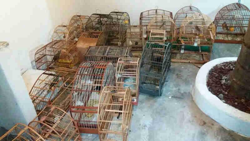Três são detidos com 23 aves silvestres e espingardas em Piracicaba, SP