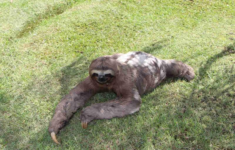 Bicho-preguiça resgatado na via Dutra (Foto: Divulgação CCR NovaDutra)