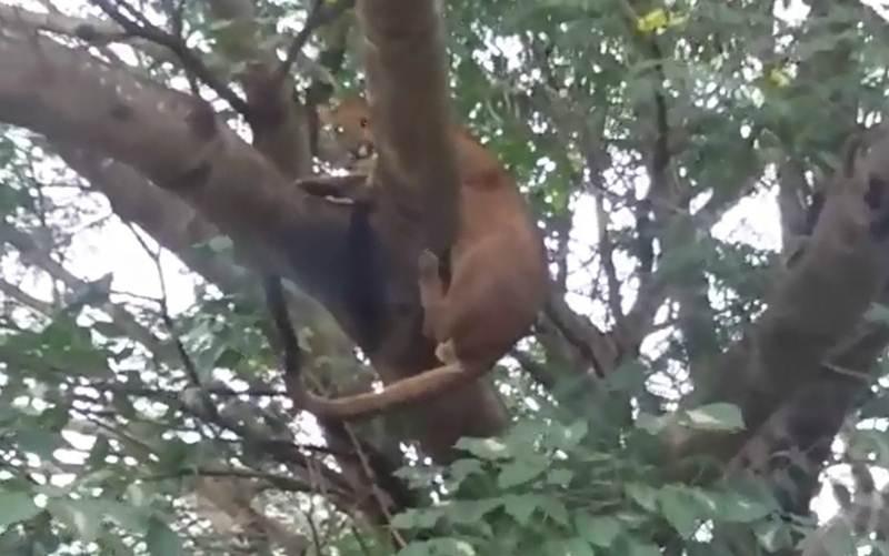Onça-parda é resgatada no topo de árvore com 8 metros em Taquaritinga, SP