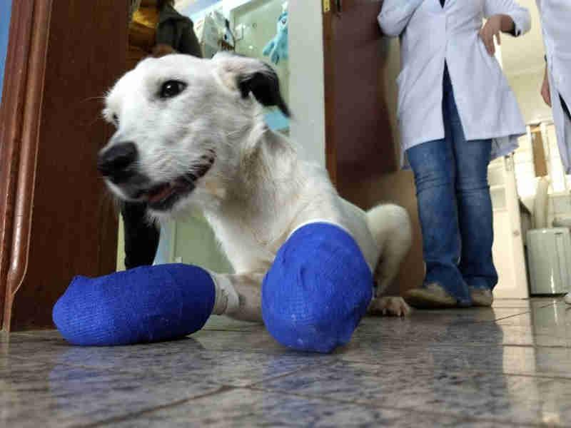 Tratamento com cão que teve patas mutiladas já soma R$ 8 mil e tutora ainda precisa de ajuda