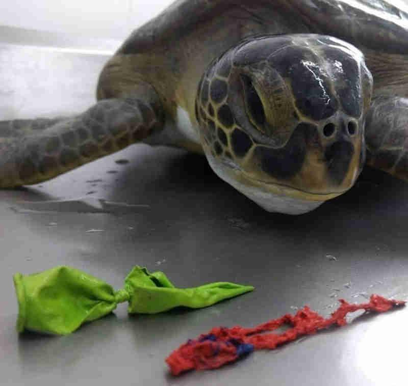 Tartaruga sofre eutanásia e biólogos tiram até bexigas de animais, em Guarujá, SP