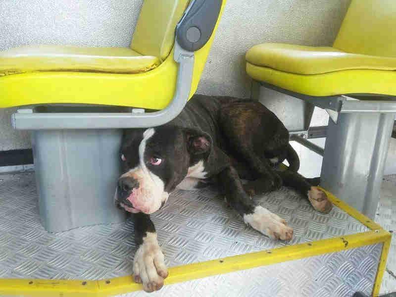 Cachorra boxer se perde de tutora e é resgatada ao pegar 'carona' em ônibus