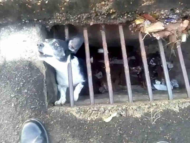 Cachorro é resgatado de bueiro em Novo Horizonte, SP