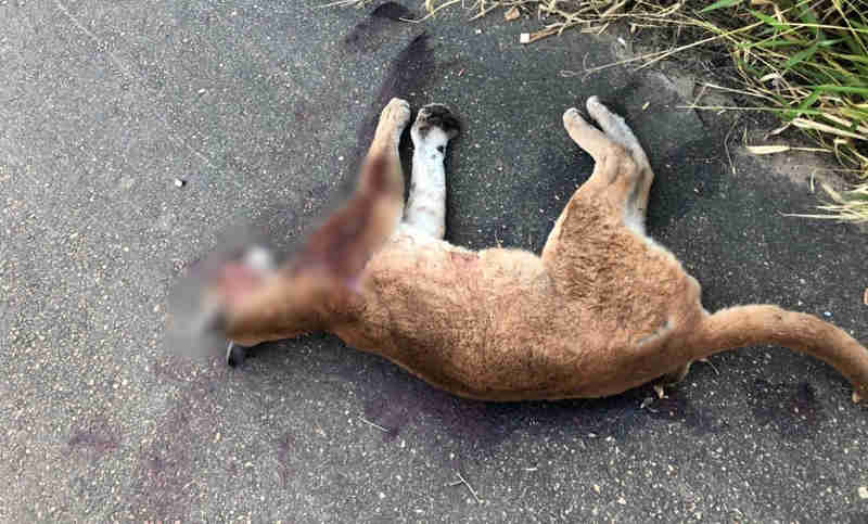 Onça-parda é encontrada morta às margens de rodovia em Pilar do Sul, SP