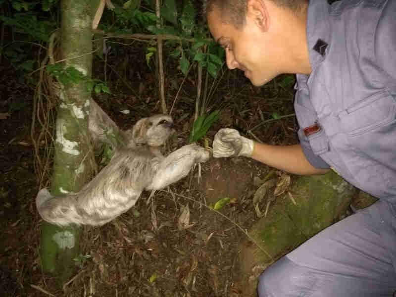 Bombeiro 'cumprimenta' preguiça após resgatar animal em São Sebastião, SP