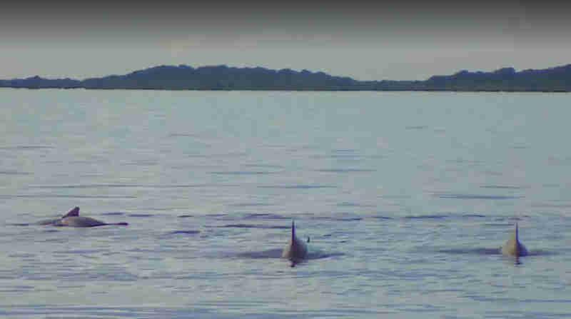 Vírus causa morte de golfinhos no litoral norte de SP e preocupa pesquisadores
