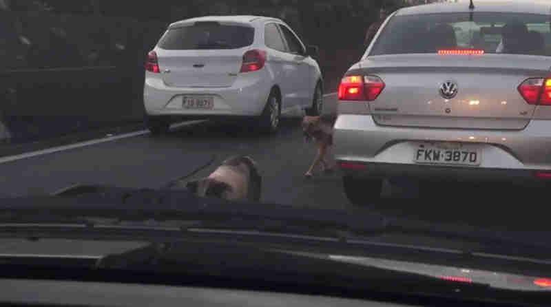Vídeo mostra fuga de porco pela Rodovia Anhanguera, em Vinhedo, SP