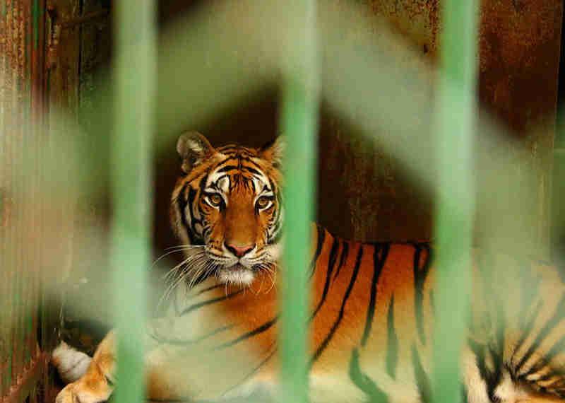 Templo flagrado por criação de tigres por seus dentes e peles está pronto para reabrir. Vamos acabar com isso agora!