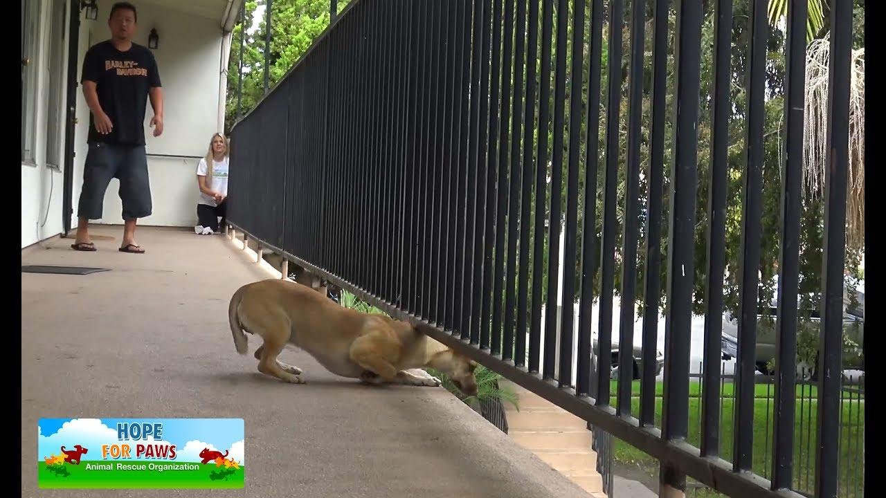 Esta cachorra estava tão assustada com os humanos que quase pulou da varanda do 2° andar para escapar. Veja ela agora.