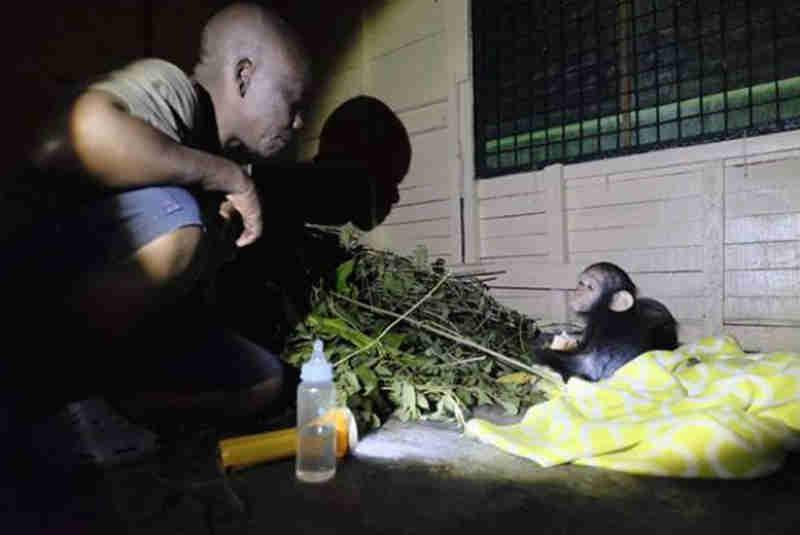 Chimpanzé órfão que seria vendido se recupera de trauma