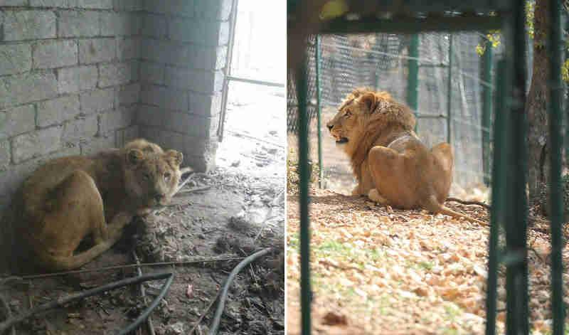 Veja o antes e depois de um leão resgatado no meio da guerra em Mossul