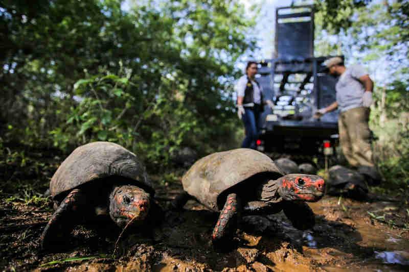 Aves e jabutis resgatados pela FPI são devolvidos à natureza no Sertão de AL; fotos