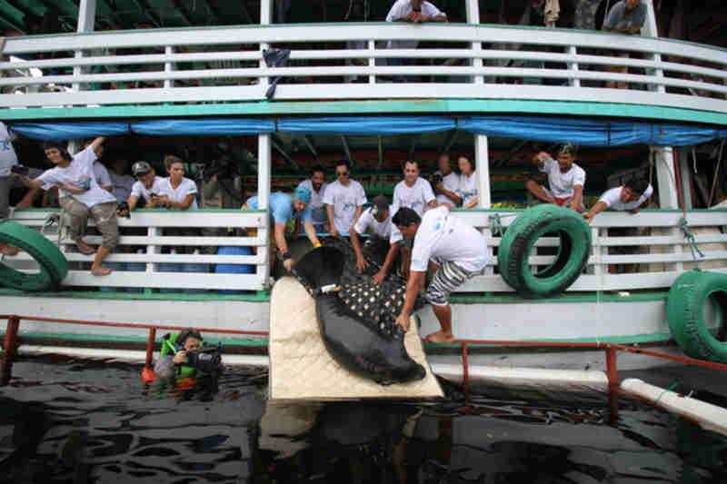 Inpa realiza soltura de 10 peixes-bois em comunidade no baixo Purus, no Amazonas