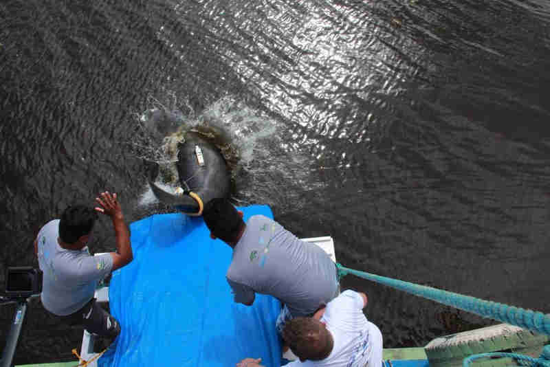 Dez peixes-bois mantidos em readaptação serão devolvidos à natureza no Amazonas
