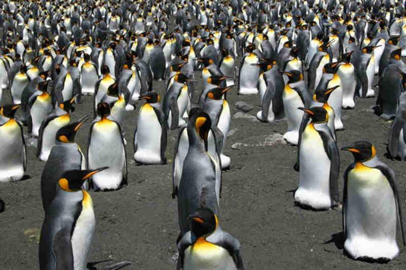 Como o aquecimento global está afastando filhotes de pinguim de seu alimento vital