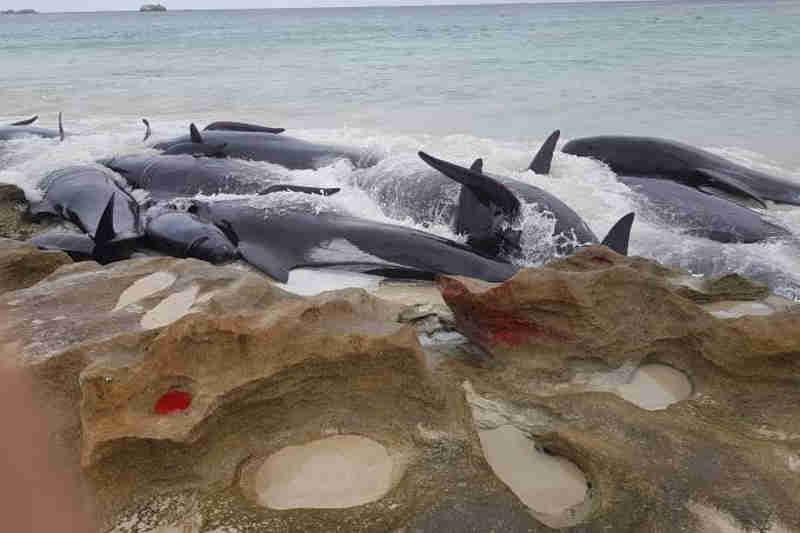 Só 6 das mais de 150 baleias encalhadas em praia australiana sobrevivem