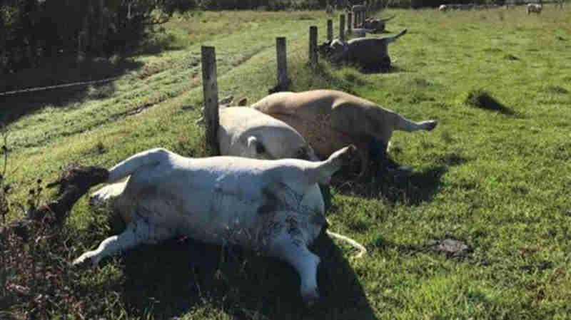 Manada de vacas morre depois de ser atingida por um raio