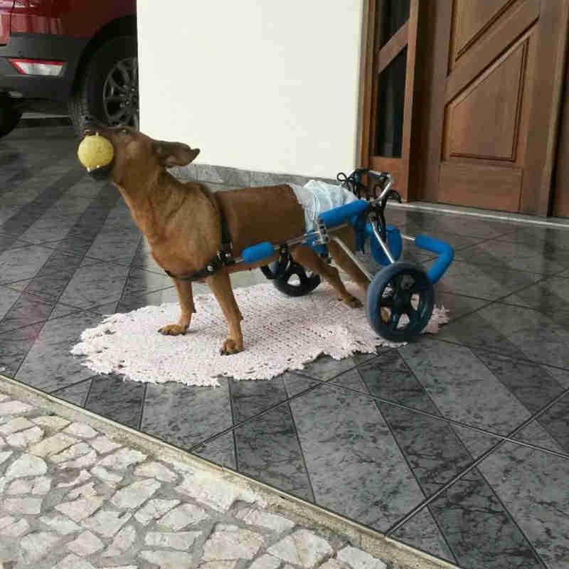 Carinho e amor de protetora de animais dão nova chance de vida para cadela paraplégica