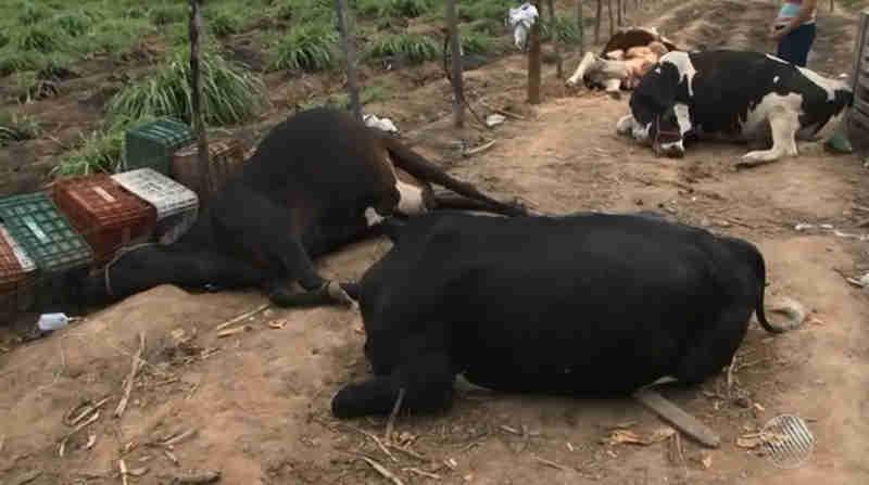 Laudo aponta que 9 vacas mortas de forma misteriosa em fazenda na BA foram envenenadas: 'Atrocidade', diz tutora