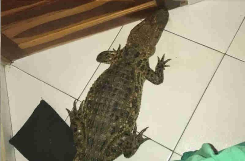 Jacaré aparece em residência e moradores devolvem animal a lagoa na Bahia