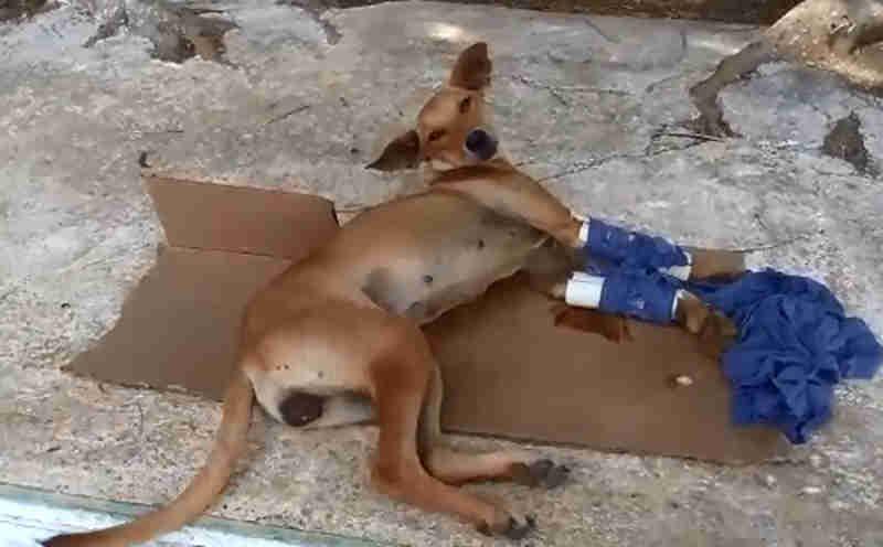 Cadelinha de rua é maltratada e tem patas quebradas em Vitória da Conquista, BA