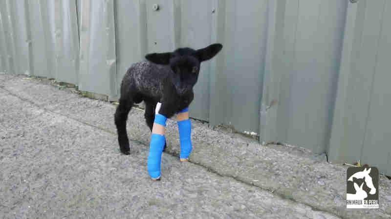 Pequeno cordeiro que não conseguia andar devido a uma deformação na pata agora pula de alegria!