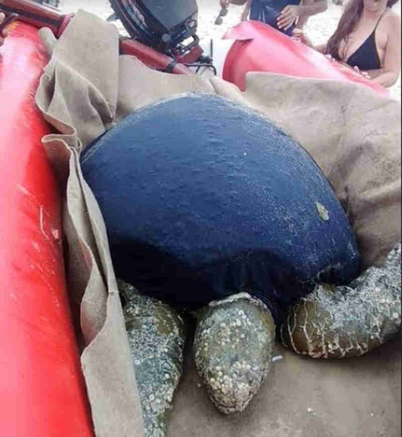 Tartaruga-marinha é resgatada na Praia do Futuro, em Fortaleza, CE