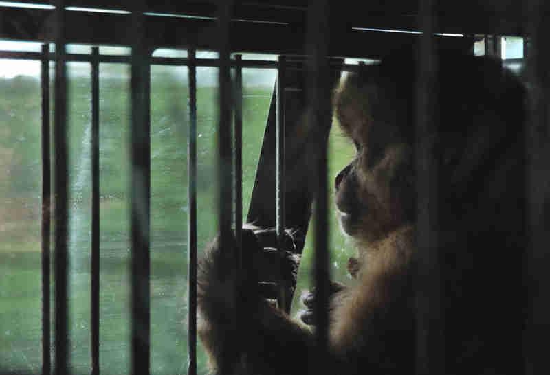 24 macacos-pregos são devolvidos à natureza, no sertão cearense