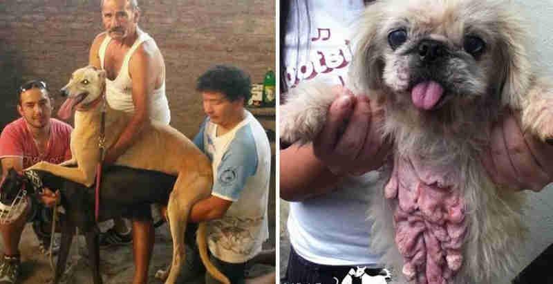 Essas cadelas são forçadas a morrer por seus filhotes, somente para satisfazer a vaidade das pessoas