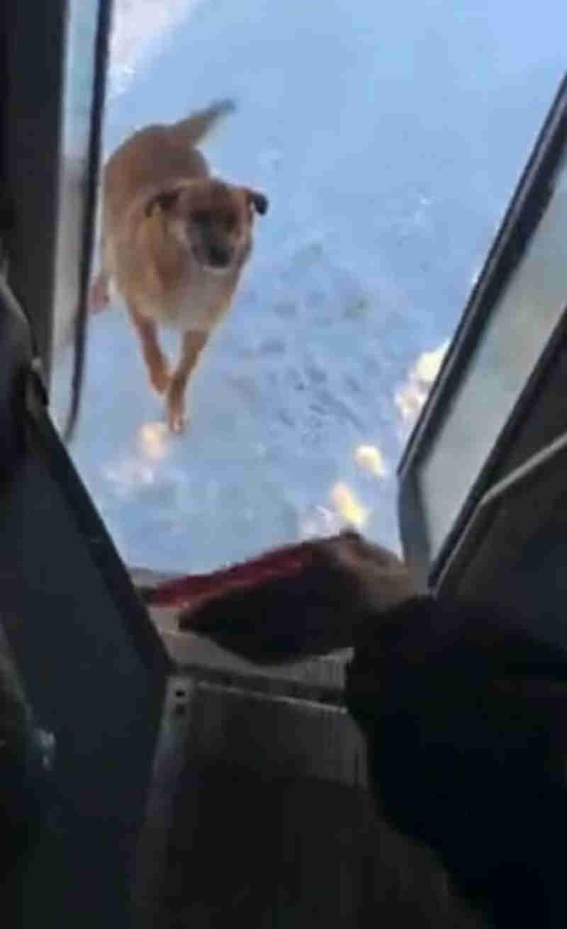 Há 2 anos, motorista de ônibus faz paradas para alimentar cachorro que vive na rua