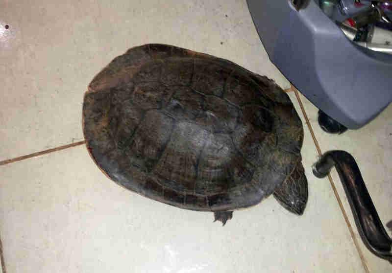 Cágado-de-barbicha 'visita' salão de beleza, põe ovo e é resgatada no DF
